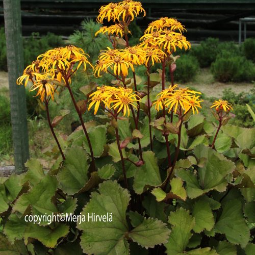 Kallionauhus Ligularia dentata Othello-0