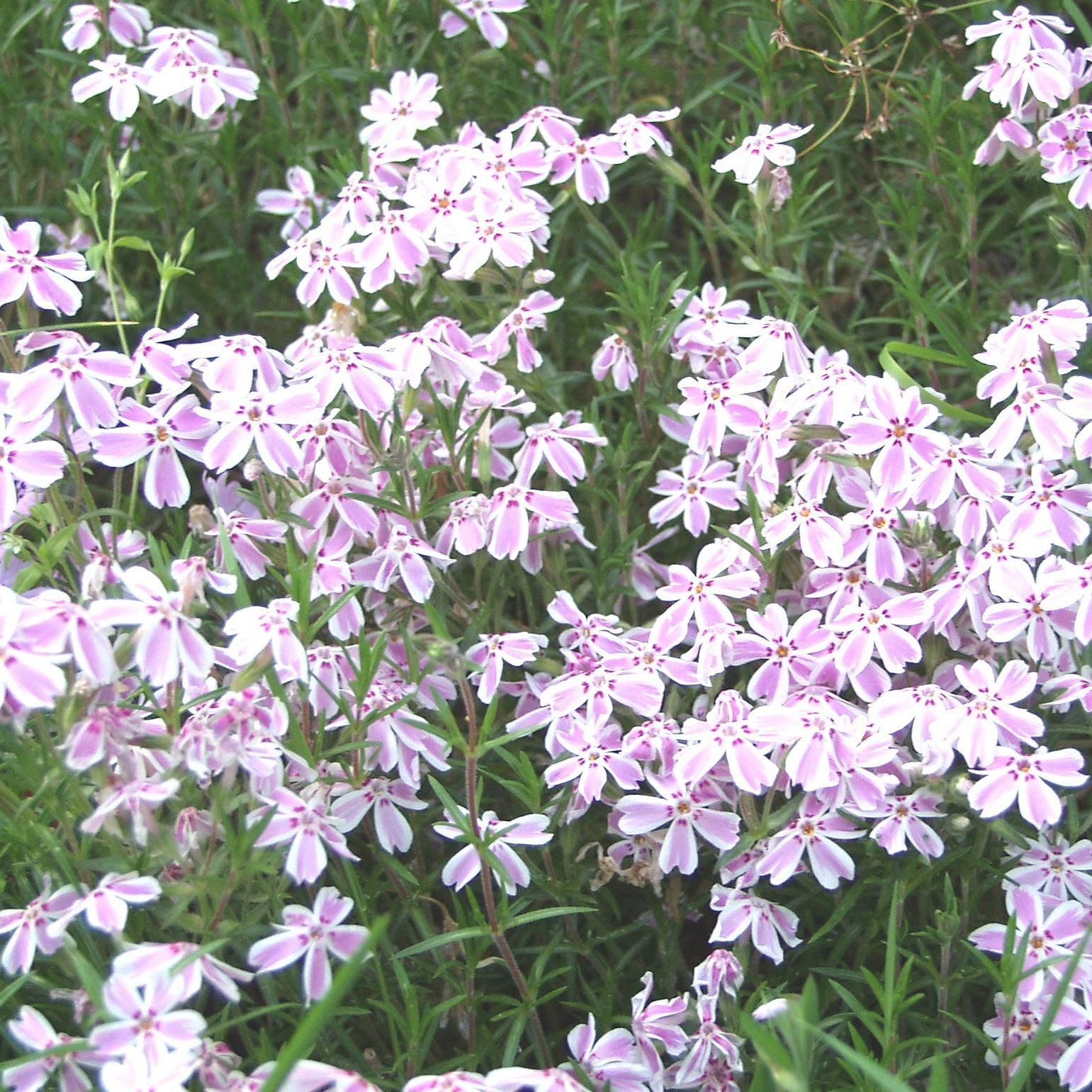 Sammalleimu Phlox subulata Candy Stripes-0