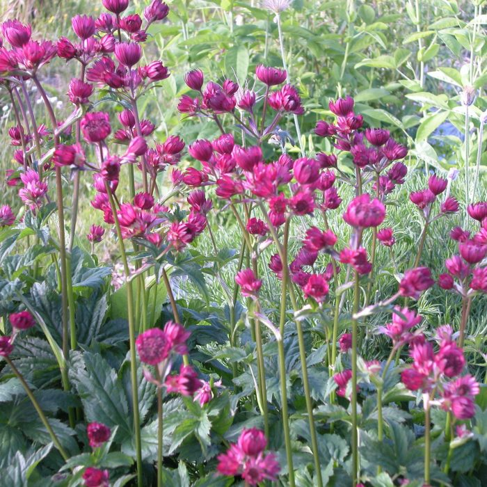 Isotähtiputki Astrantia major Ruby Claud-0